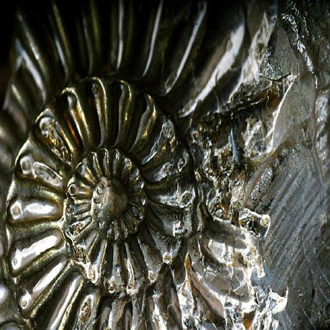 鹦鹉螺化石